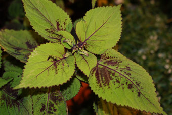 Coleus 'Versa - Burgundy to Green'