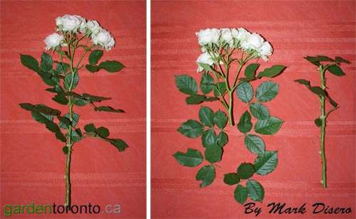 Show Rose - Before & After